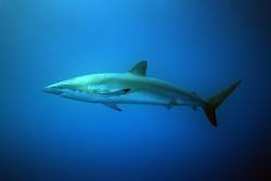Silky shark (Carcharhinus falciformis) floating just below the surface. Great pelagic shark in blue.