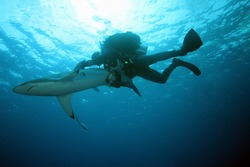 Silky shark (Carcharhinus falciformis) floating just below the surface of a slightly wavy sea with a diver hanging on a fin. Manipulation with a dangerous animal.