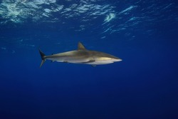 Silky shark (Carcharhinus falciformis)  named for the smooth texture of its skin.