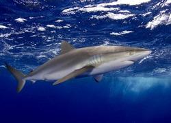 Silky Shark in the Bahamas