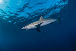 Silky shark in the blue close to the surface