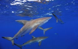 Silky shark. This type of shark can be found closer to the surface, they are constantly around the boat