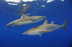 Silky sharks (Carcharhinus falciformis). Highly mobile and migratory, this shark is most often found over the edge of the continental shelf down to 50 m.