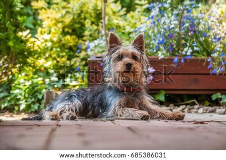 Silky terrier #685386031