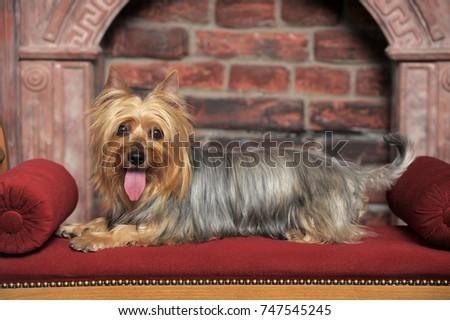 silky terrier #747545245