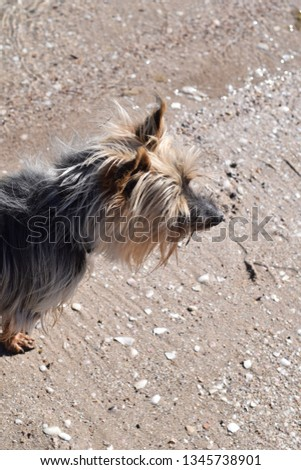 Silky Terrier dog at beach #1345738901