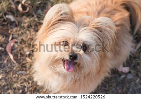 silky terrier dog looking up smiling #1524220526