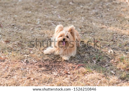 silky terrier dog lying down relaxing #1526210846