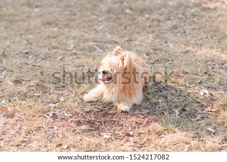 silky terrier dog lying on grass panting hot #1524217082