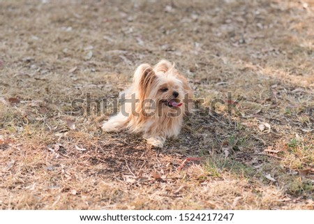 silky terrier dog lying on grass panting hot #1524217247