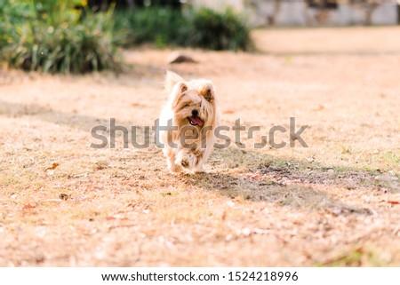 silky terrier dog running in a park #1524218996