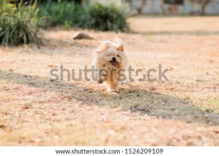 silky terrier dog running in a park #1526209109