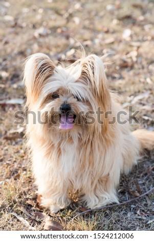 silky terrier dog sitting on grass #1524212006