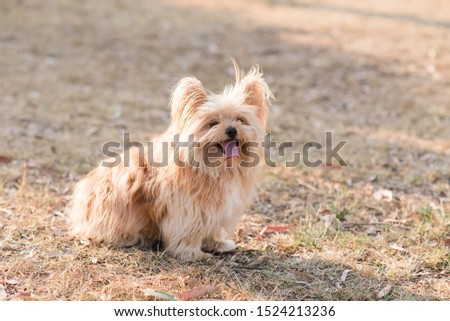 silky terrier dog sitting on grass panting hot #1524213236