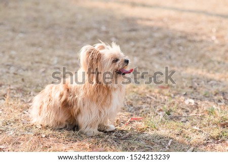 silky terrier dog sitting on grass panting hot #1524213239