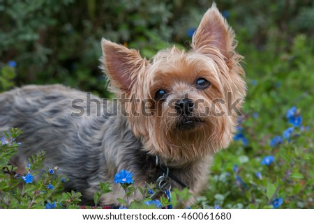 Silky Terrier outside surrounded by spring flowers. looking up, away from the camera #460061680
