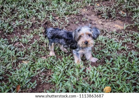 Silky Terrier puppy at the park on a sunny day. No people  #1113863687