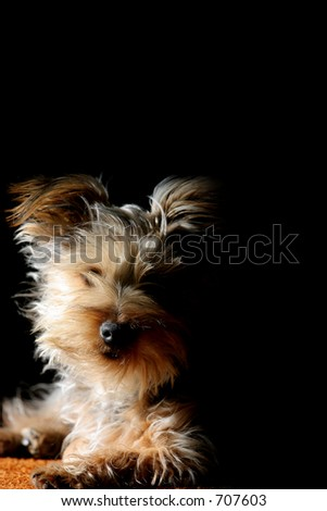 Silky Terrier puppy sitting up in sun and shadow with a black background (shallow focus).