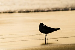 Sillouette of a seagull standing in the waterline at the beach in the morning with water in background