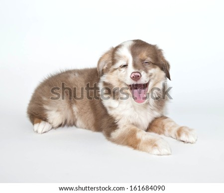 Silly Aussie puppy that looks like someone just told her a joke.