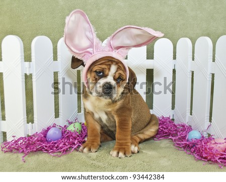 Silly Bulldog puppy wearing bunny ears all dressed up for Easter with a funny look on his face.