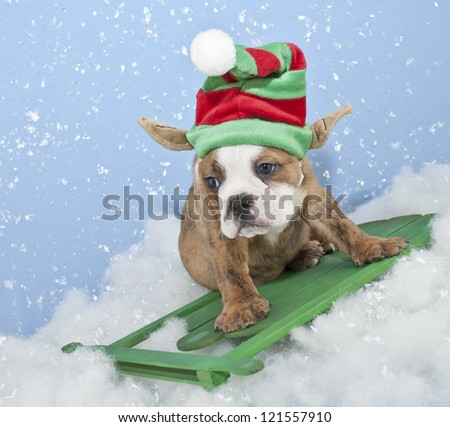 Silly Bulldog puppy with an elf hat on sled riding in the snow.
