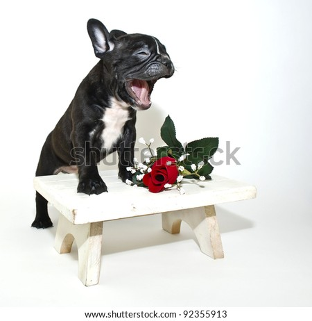 Silly French Bulldog puppy that looks like he is singing or talking with a single red rose on a white background.