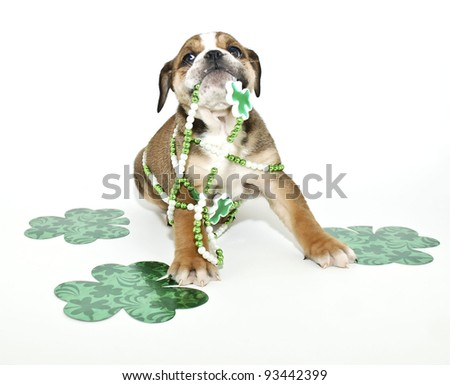 Silly St Patricks Day Bulldog puppy with green clovers and ready for St Patricks Day, on a white background.