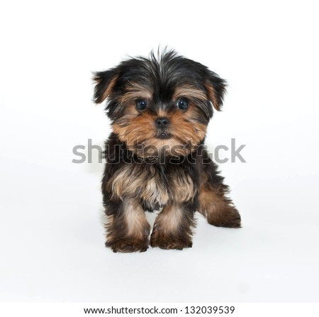 Silly Yorkie puppy that looks like he has an  attitude, on a white background.