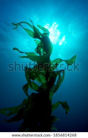 Silouette of giant kelp framed against the sun and sunrays in clear water Stock photo ©