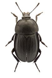 Silpha  obscura Linnaeus, 1758 - Silphidae : Female