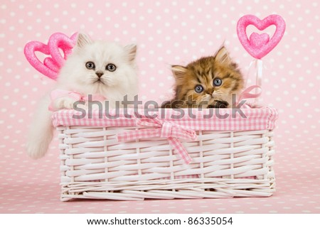 Silver and Gold Chinchilla kittens in pink Valentine basket