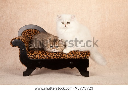 silver and golden chinchilla persian kitten sitting on leopard
