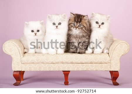 Silver and Golden Chinchilla Persian kittens on cream sofa on lavender background