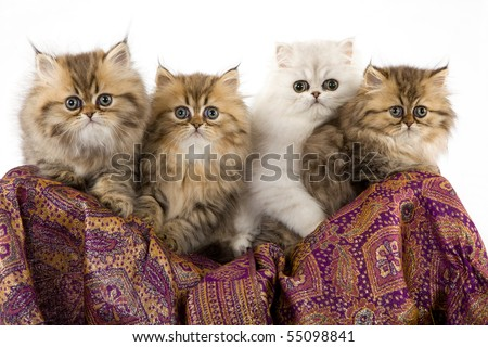 Silver and Golden Chinchilla Persian kittens on purple fabric on white background
