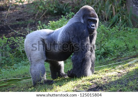Silver backed Male Gorilla