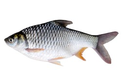 Silver Barb or Java Barb isolated on white background with Clipping path.
