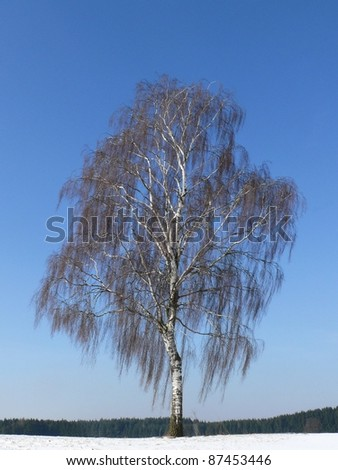 Silver birch, Betula verrucosa