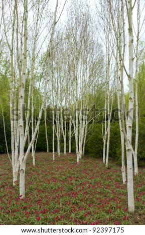 Silver birch trees with red tulips, Spring, Anglesey Abbey, Cambridgeshire, UK.