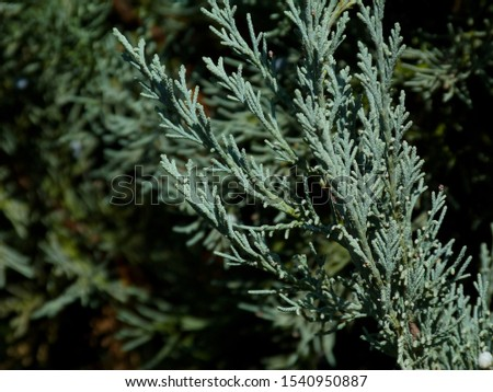 silver blue or ice blue Juniper or Arizona Cypress branch close up detail. freshness concept. beauty in nature. background image. blurry deep green branches behind. coniferous evergreen tree. #1540950887