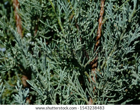silver blue or ice blue Juniper or Arizona Cypress branch close up detail. freshness concept. beauty in nature. background image. blurry green branches behind. coniferous evergreen tree. background. #1543238483