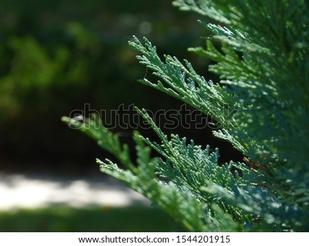 silver blue or ice blue Juniper or Arizona Cypress branch close up detail. freshness concept. beauty in nature. background image. blurry deep green branches behind. coniferous evergreen tree. #1544201915