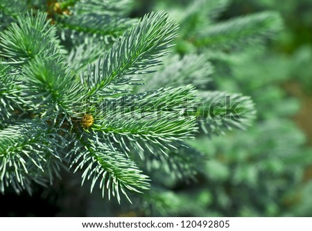 spruce pine latin dating site Red spruce latin name:  ponderosa pine latin name: pinus ponderosa dating fire scars found in the annual rings is a major application of tree  search the site.