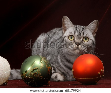 Silver British Shorthair cat on a Christmas decoration background