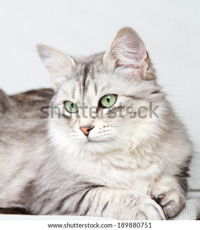 silver cat, female adult of siberian breed