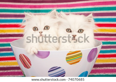 Silver Chinchilla kittens in colorful bowl on striped background
