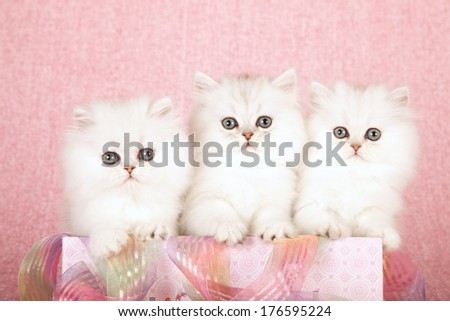 Silver Chinchilla kittens sitting inside pink gift box with ribbon against pink background