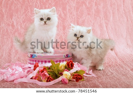 Silver Chinchilla kittens with pink ribbons and roses on pink background