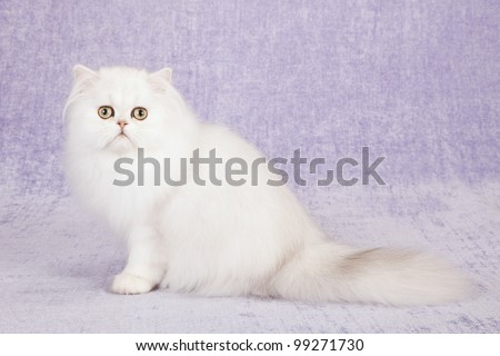 Silver Chinchilla Persian cat kitten sitting on white miniature bicycle on lilac purple background with purple ribbons