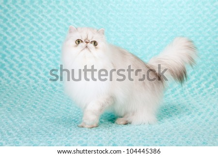 Silver Chinchilla Persian cat on blue green aqua background